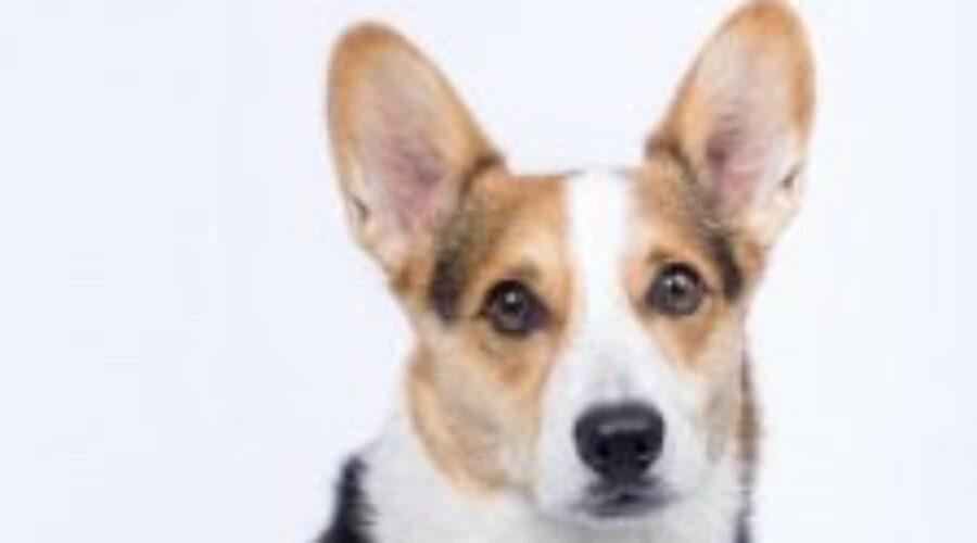 Estas son las principales razones por las que aúllan los perros