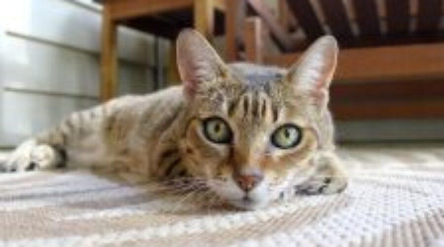 Principales síntomas de la deshidratación en gatos